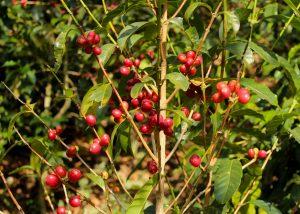Typica Pflanze Madre Tierra