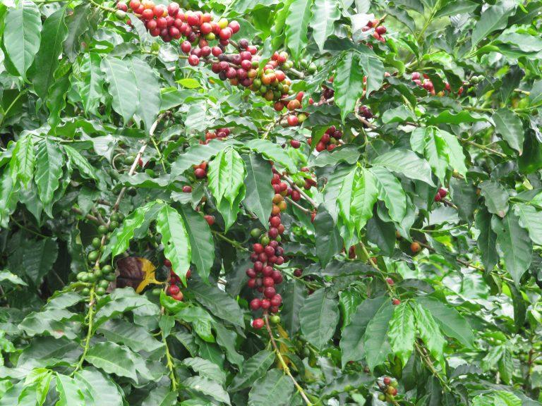 Obata Pflanze Madre Tierra