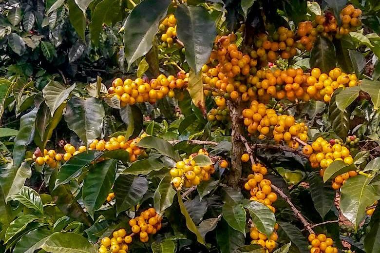 Catuai Amarillo Pflanze Madre Tierra