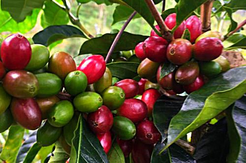 Kaffee Kirschen Madre Tierra Kaffeestrauch