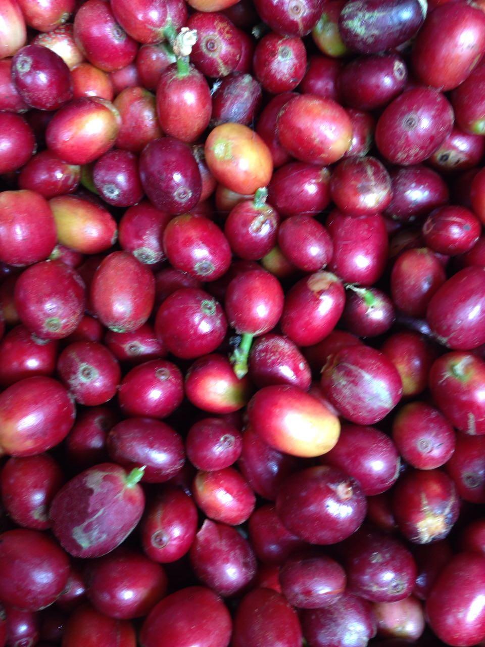 Reife Arabica Kaffee Kirschen