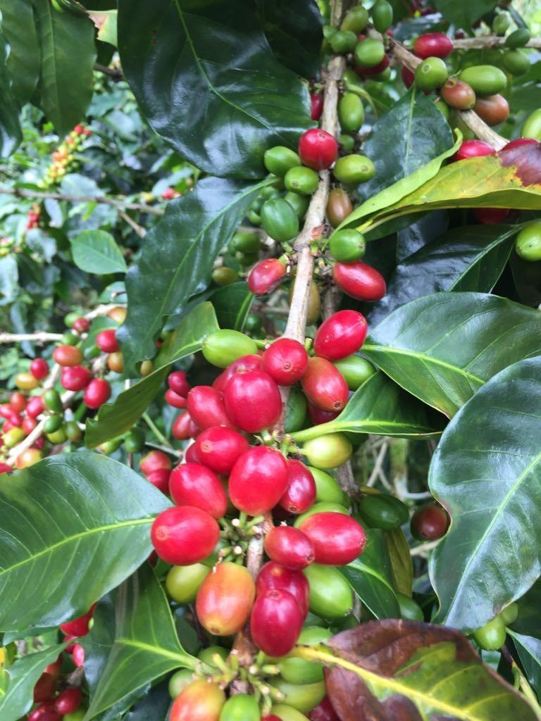 Kaffee Ernte 2019 Madre Tierra Plantage