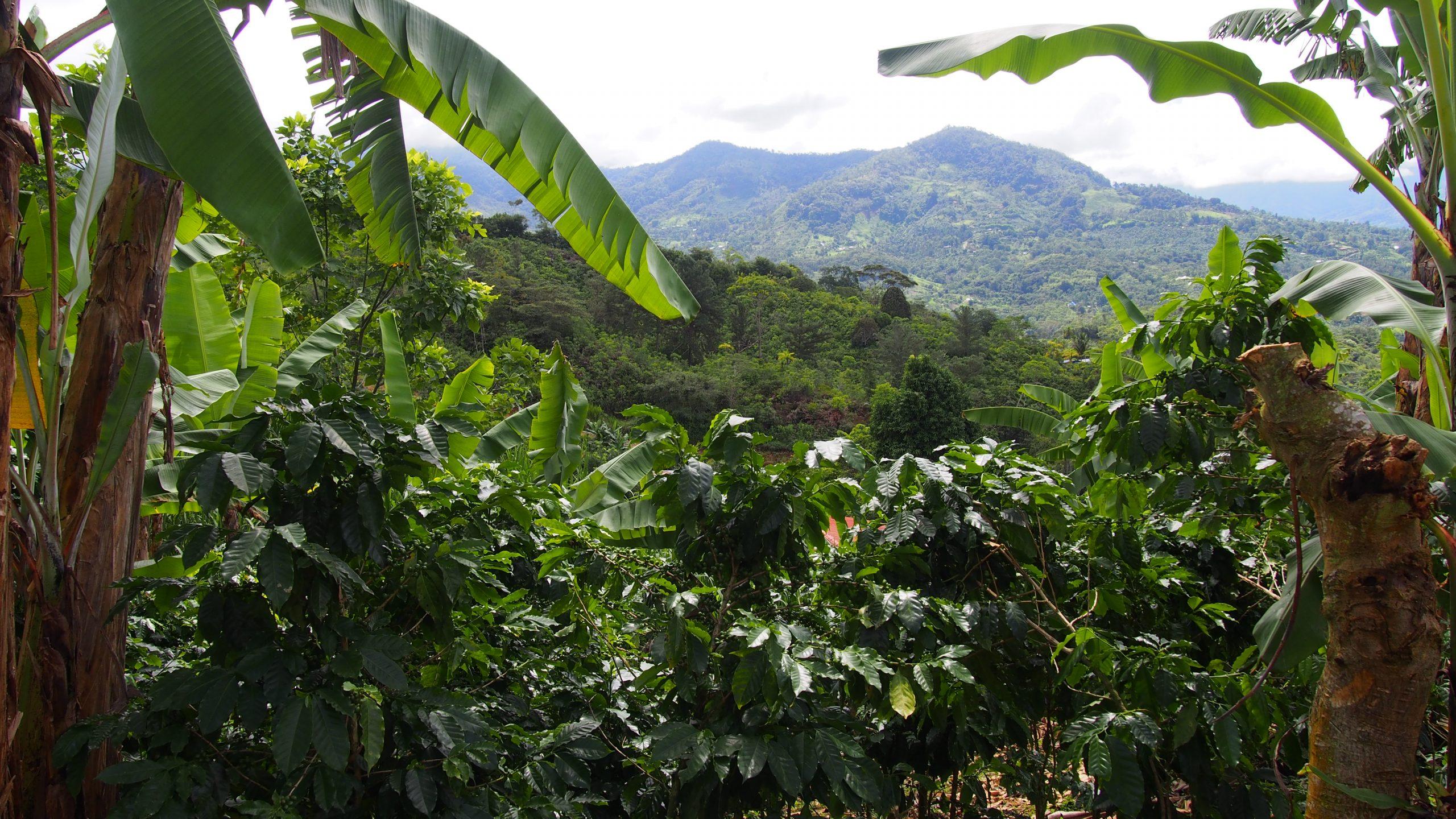 Talamanca Tal Costa Rica Kaffee