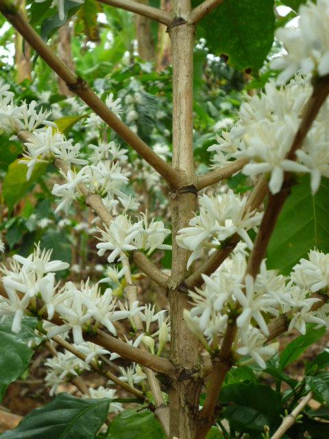 Kaffeestrauch Blühte Madre Tierra Plantage