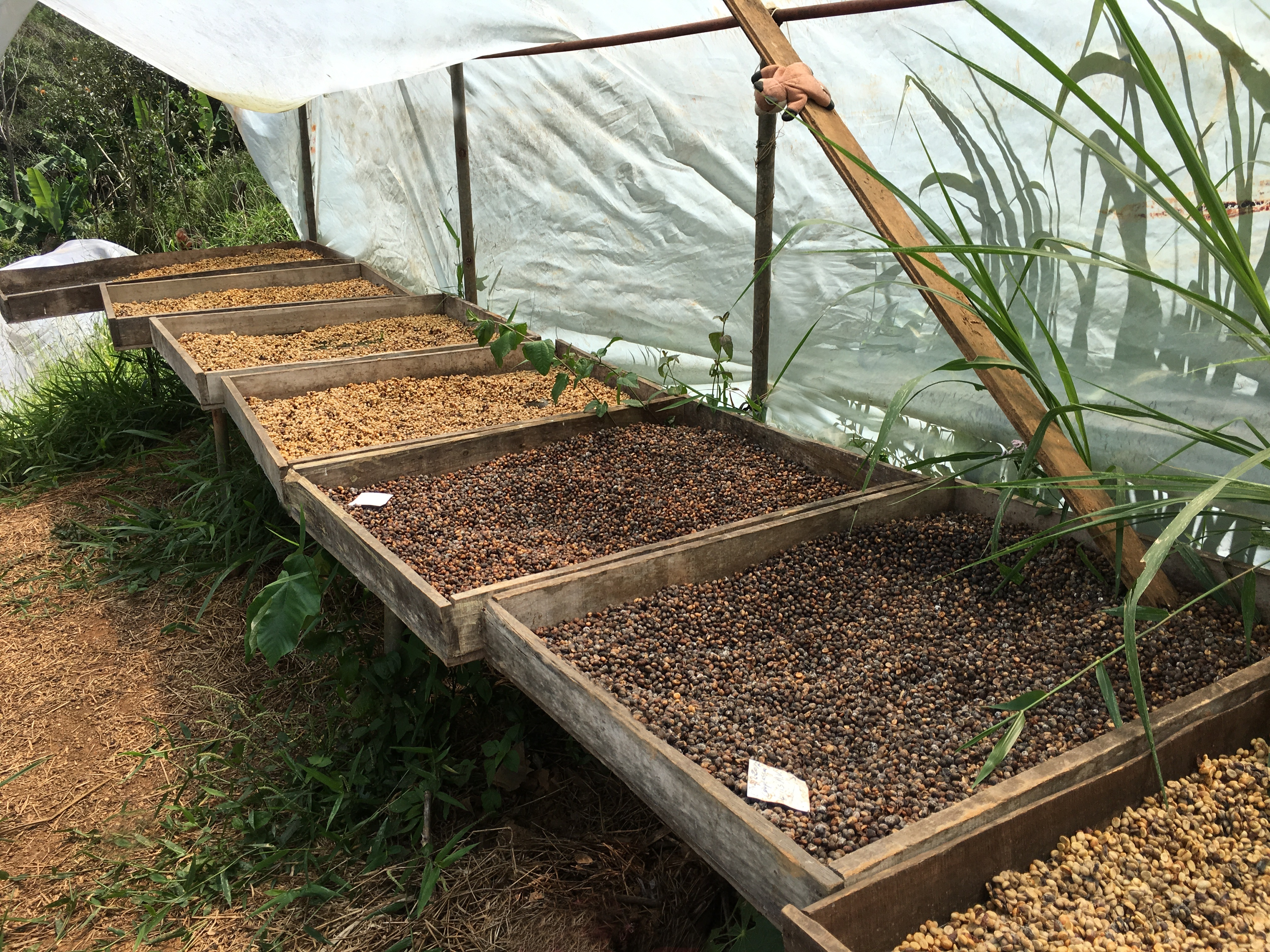 Trockenbetten Costa Rica Kaffee Plantage