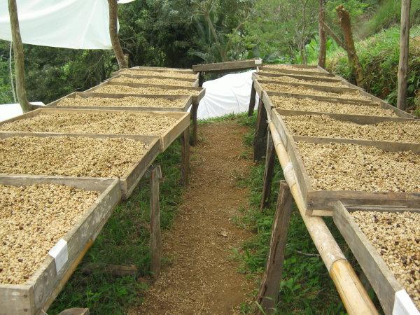 Kaffee Hochbetten trocknen Madre Tierra