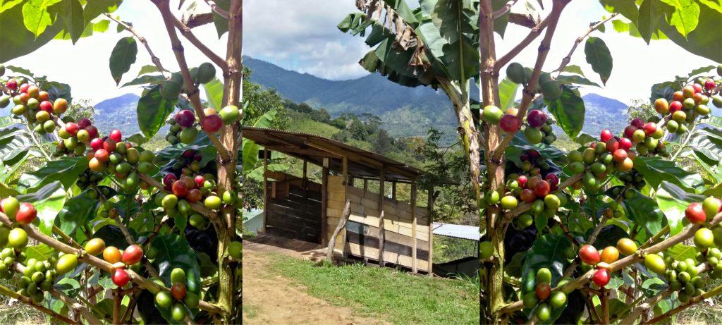 Kaffee Plantage Sammelstelle Kaffee Ernte